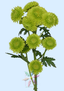Chrysanthemum-green